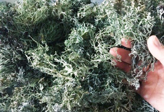 Infuso di licheni: virtù e sperimentazione in cucina! thumb